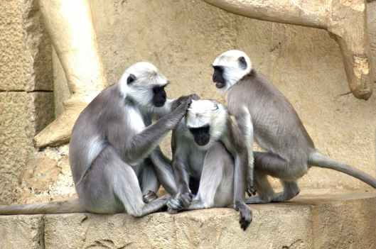 green-monkeys-monkey-old-world-monkey-monkey-family-66865.jpeg
